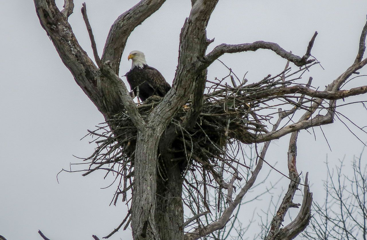 Bald Eagle nest west of the hamlet of Vischer Ferry - Photo by Terry Olmstead